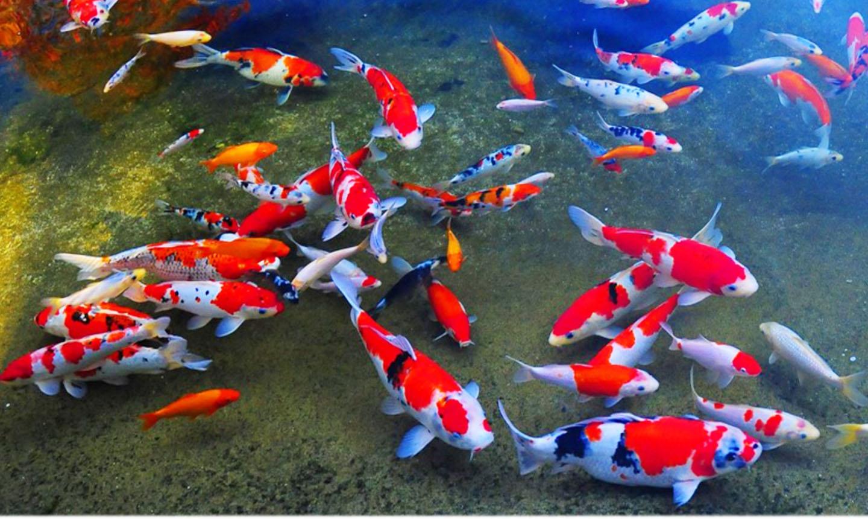 Berapa lama rata rata ikan koi hidup galena for Koi fish pond hd