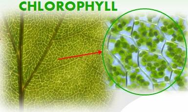 klorofil 1