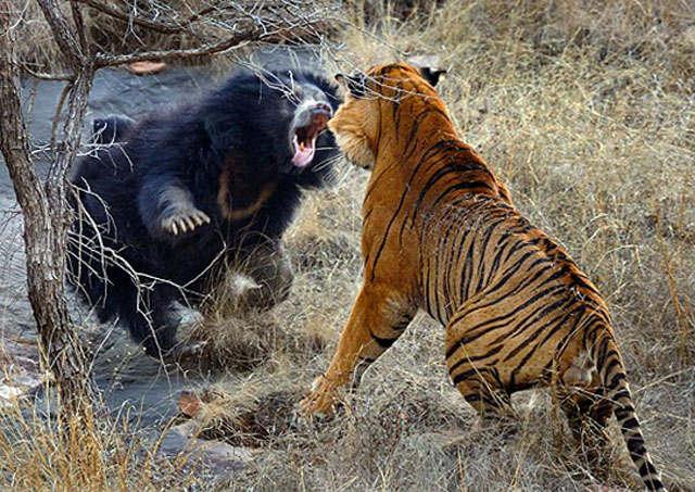 pertarungan hewan buas