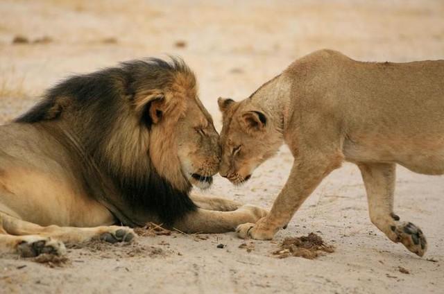 singa jantan dan betina